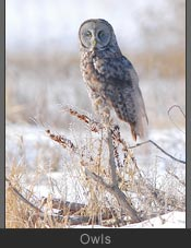 Owls Photos