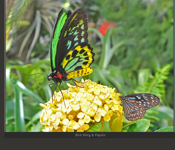 Bird Wing and Papilio