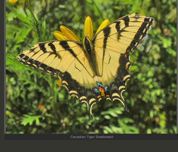 Canadian Yellow Swallowtail