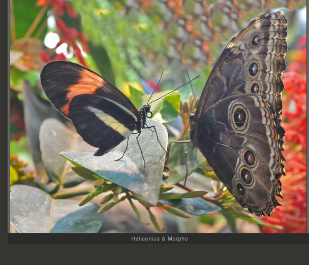 Heliconius and Morpho