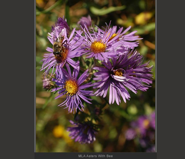 MLA Asters With Bee