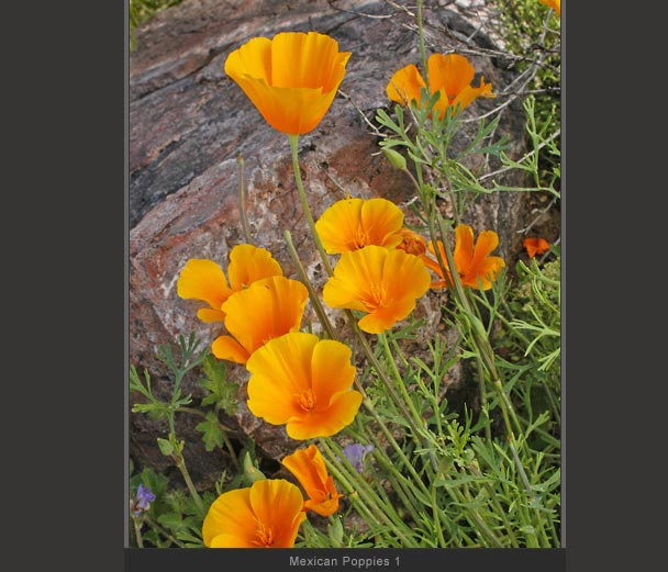 Mexican Poppies 1
