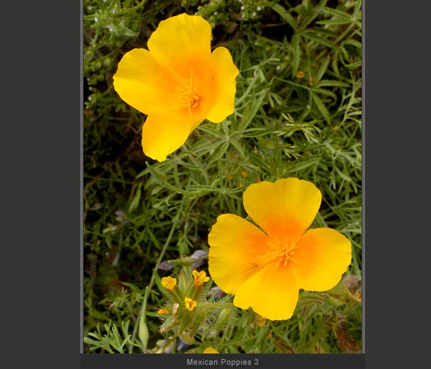 Mexican Poppies 3