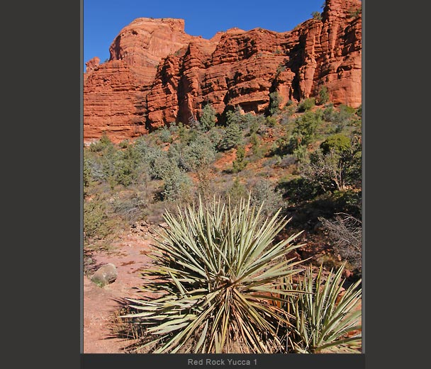 Red Rock Yucca 1