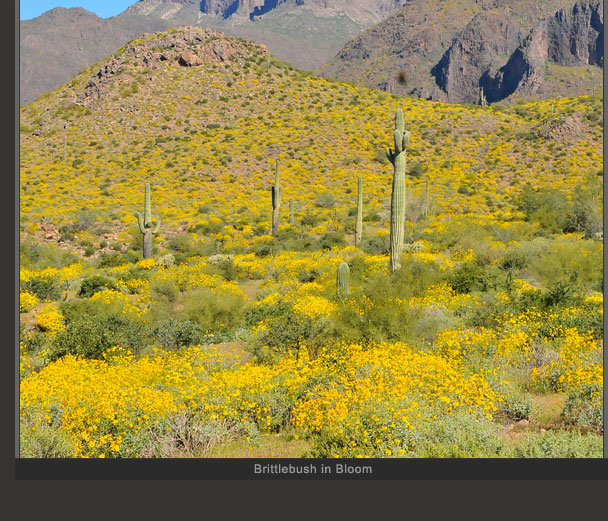 Brittlebush in Bloom 2