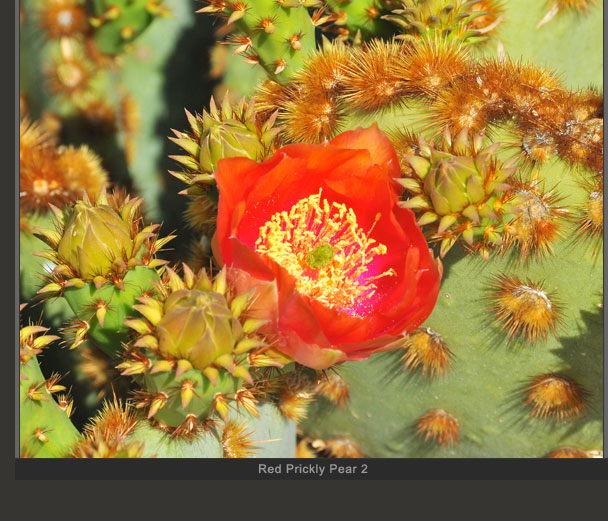 Red Prickly Pear 2