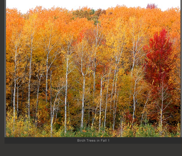 Birch Trees in Fall 1