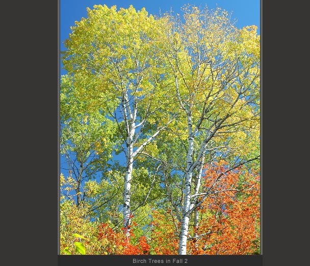 Birch Trees in Fall 2